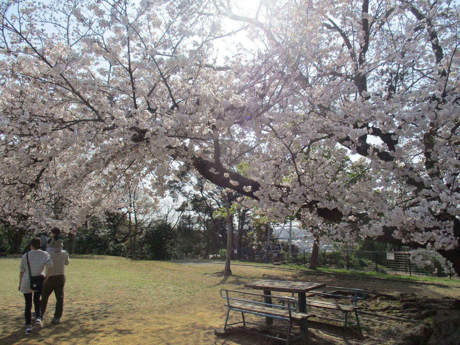Zdjęcie Cherry Blossom Viewing in Wajiyama Park 2019-04-06