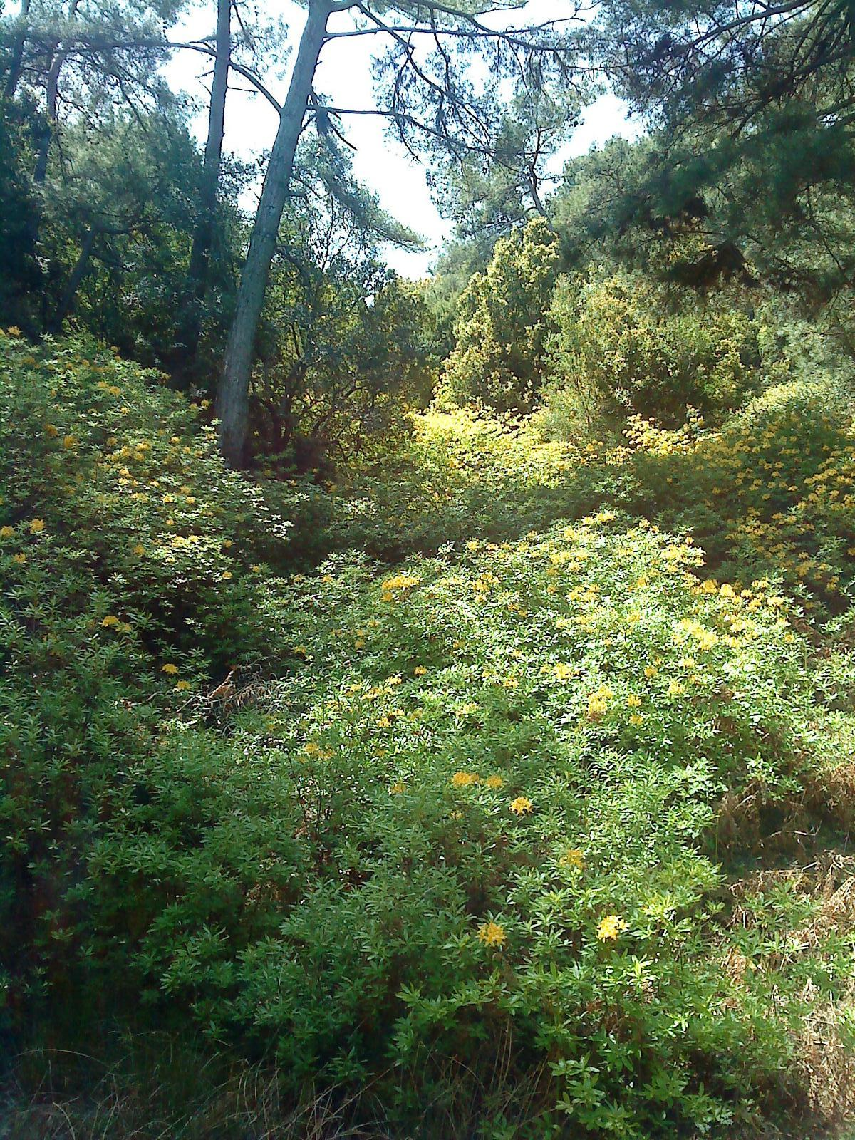 Photo of The Golden Rhododendron
