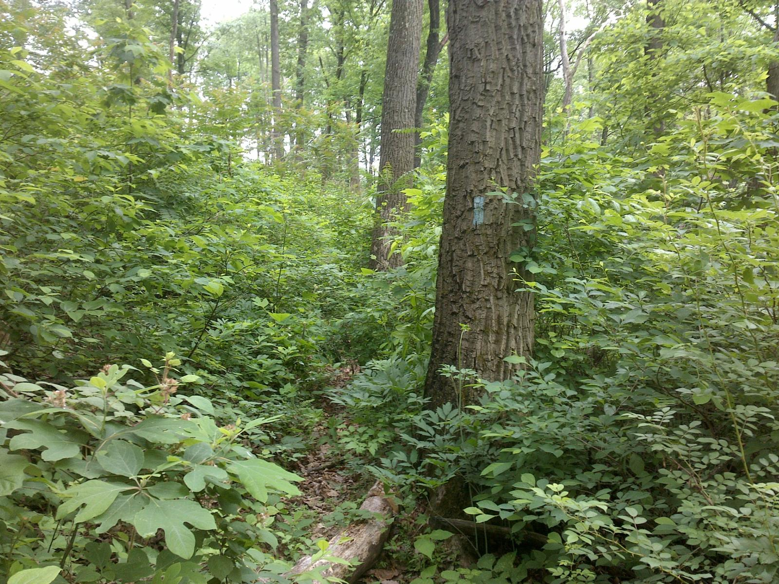 mynd af North Country Trail, Buckeye Trail, American Discovery Trail - Tar Hollow State Forest 2017-05-24 13:44:03